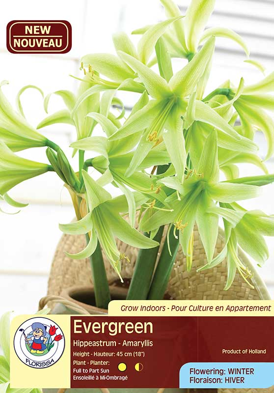 Evergreen - Hippeastrum - Amaryllis - Flowering in Winter