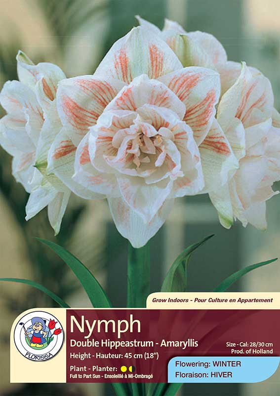 Nymph - Double Hippeastrum - Amaryllis - Flowering in Winter