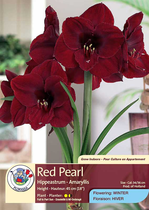 Red Pearl - Hippeastrum - Amaryllis - Flowering in Winter