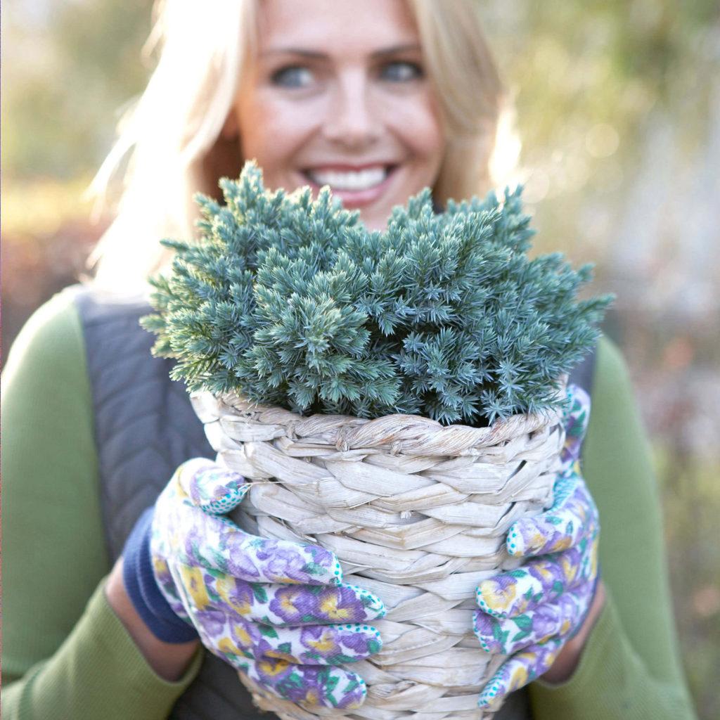 Juniperus squamata Blue Star - Cover