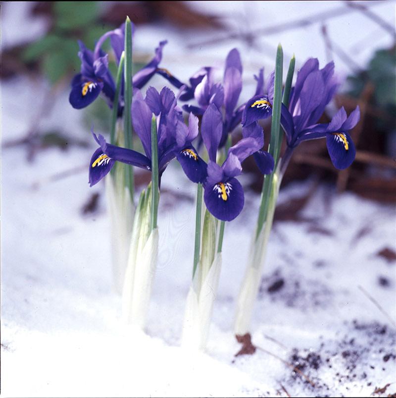 Dwarf Iris Reticulata