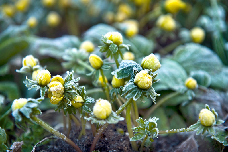 Winter Aconite - Galanthus