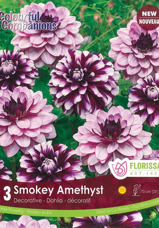New for Spring - Smokey Amethyst - Decorative Dahlia - Colourful Companions