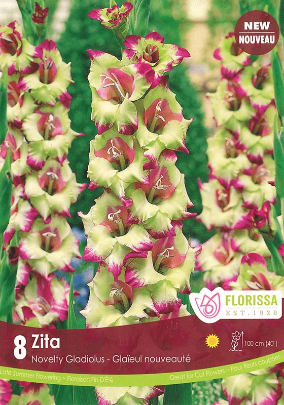 New for Spring - Zita - Novelty Gladiolus