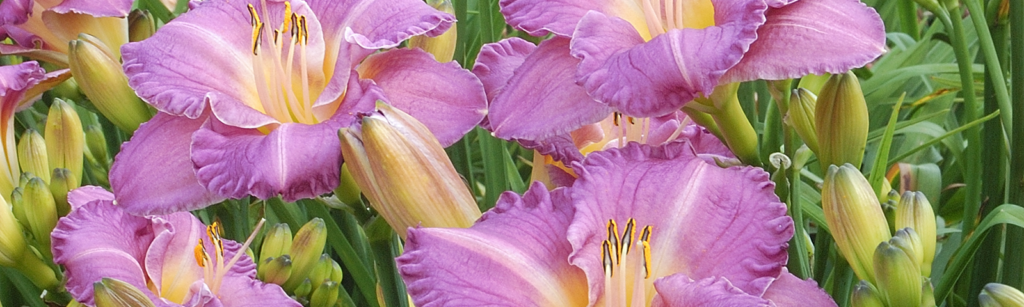 New for Spring - Hemerocallis Entrapment - Re-Blooming Daylily