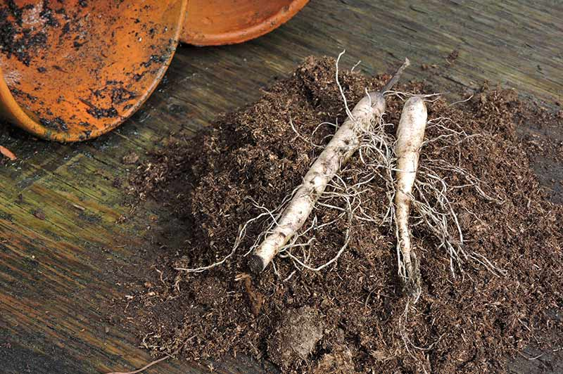 Get Growing - Dry Bulb Planting