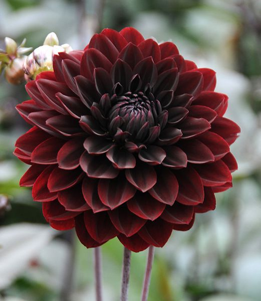 Karma Choc - Novelty Decorate Dahlia
