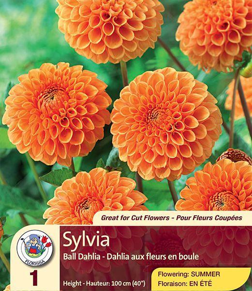 Sylvia – Ball Dahlia