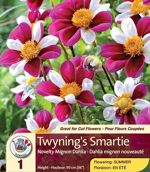 Twyning S Smartie Novelty Mignon Dahlia Florissa