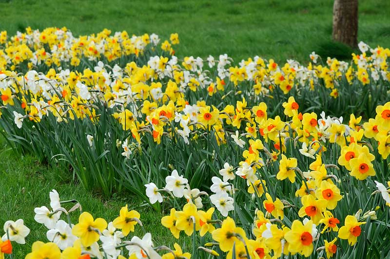 Welcome Spring - Daffodils