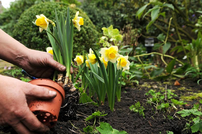Welcome Spring - Planting Daffodils