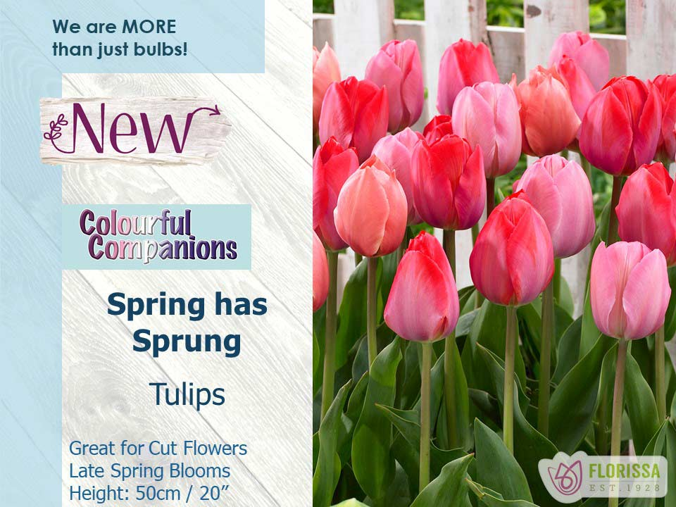 Spring Has Sprung Tulips Great For Cut Flowers Late Spring