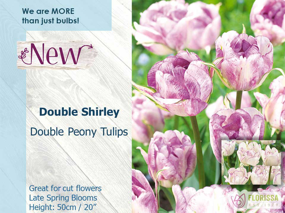 Double Shirley - Double Peony Tulips - Great for Cut Flowers - Late Spring Blooms - Height of 50cm or 20 Inches