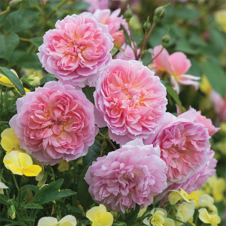 Anne Boleyn - David Austin Roses