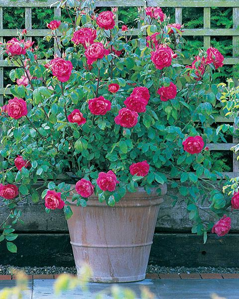 Benjamin Britten - David Austin Rose Potted