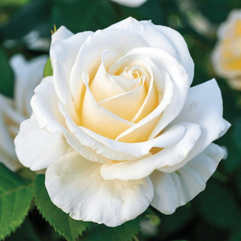 Easy Spirit - Weeks Roses