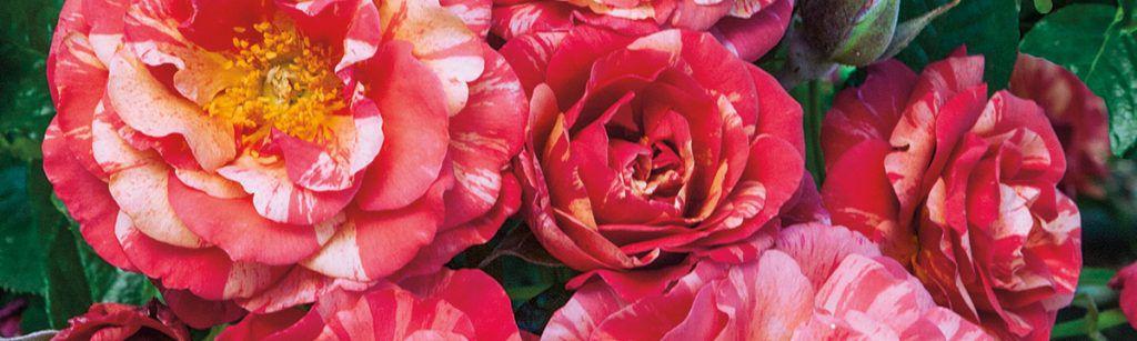Frida Kahlo - Weeks Roses - Featured Image