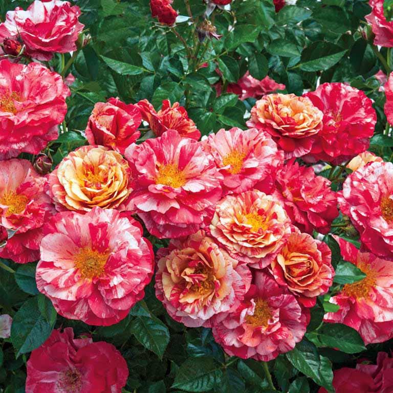 Frida Kahlo - Weeks Roses