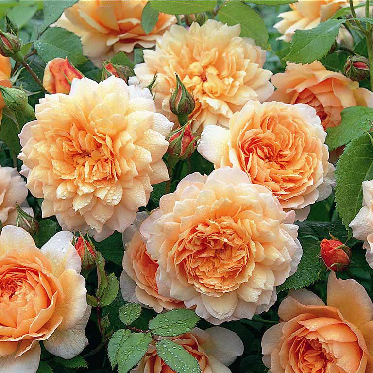 Grace - Auskeppy - David Austin Roses