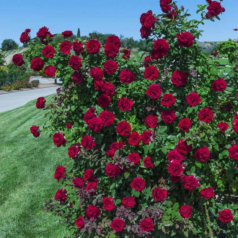 Lady in Red - Weeks Roses