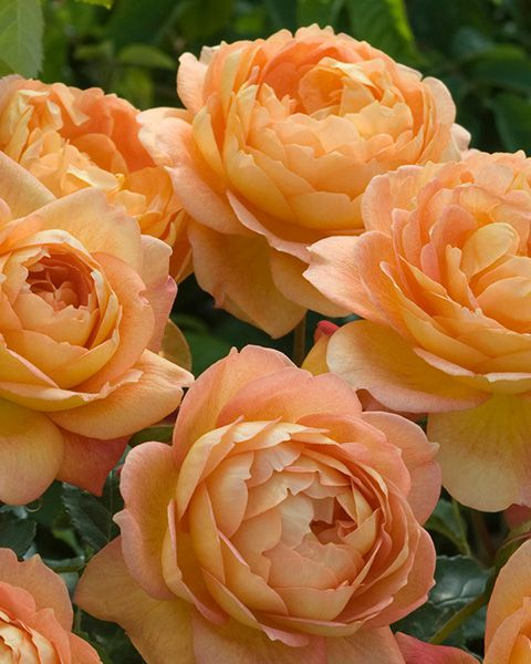 Lady of Shalott - David Austin Rose Close-Up