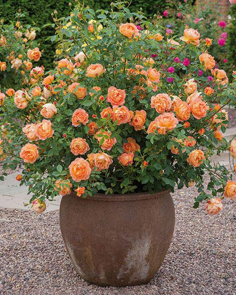 Lady of Shalott - David Austin Rose Potted