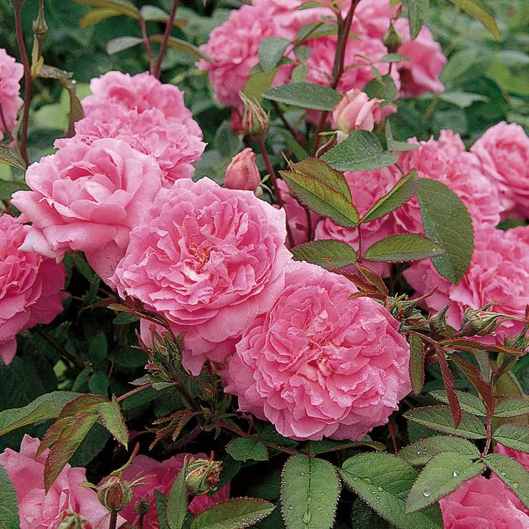 The Mayflower - David Austin Roses