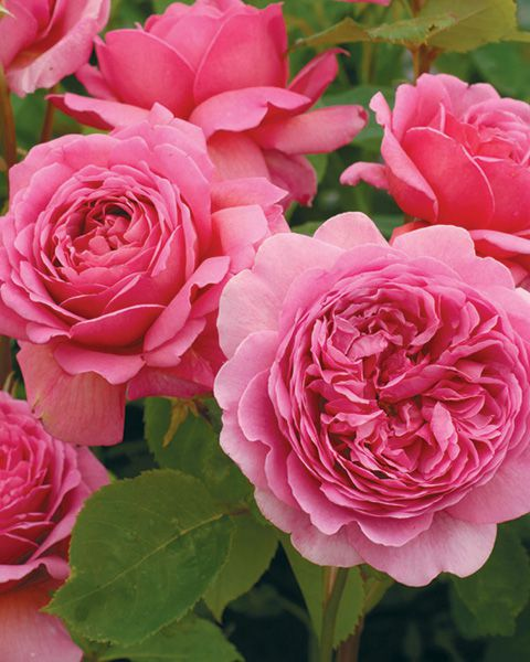 Princess Alexandria of Kent - David Austin Rose Close-Up