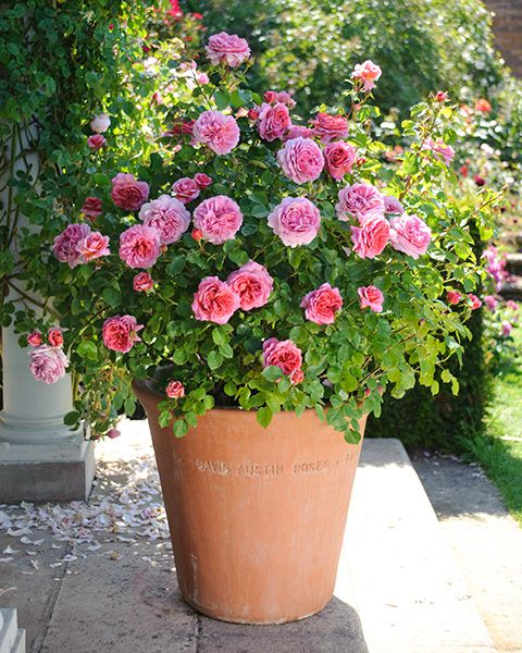 Princess Alexandria of Kent - David Austin Rose Potted