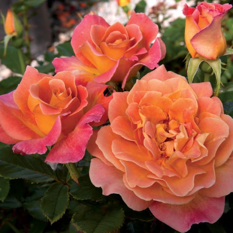 Rosie the Riveter - Weeks Roses
