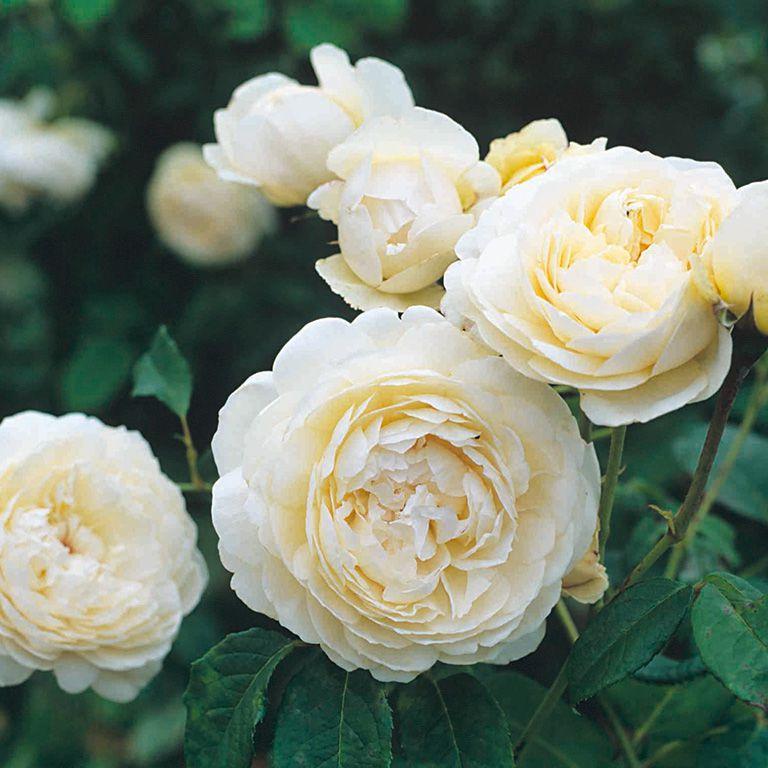 Windermere - David Austin Roses