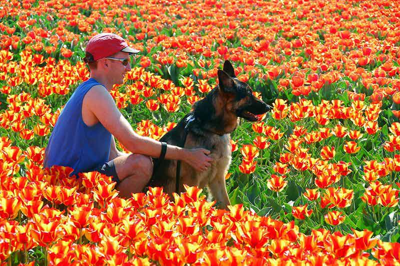 Man with Dog in Tulip Field