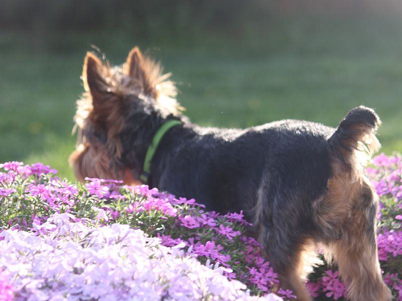 Chip the Dog in Purple Flowers