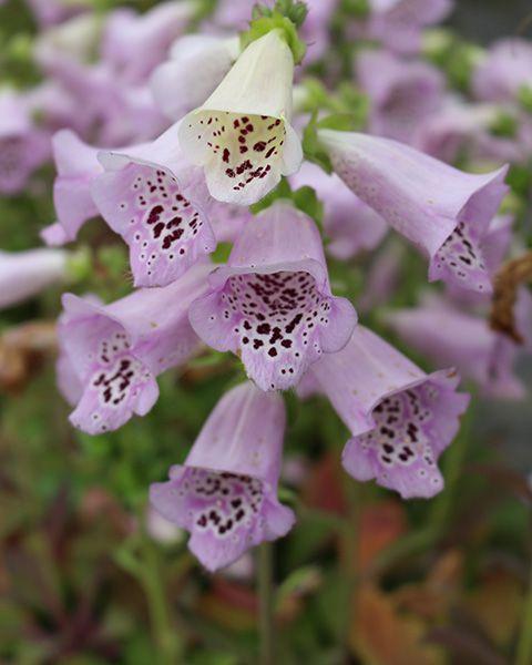 Digitalis Lavender