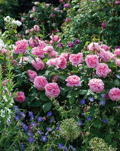 Rose Gertrude Jekyll with Geranium Brookside