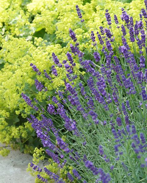 Lavender and Alchemilla