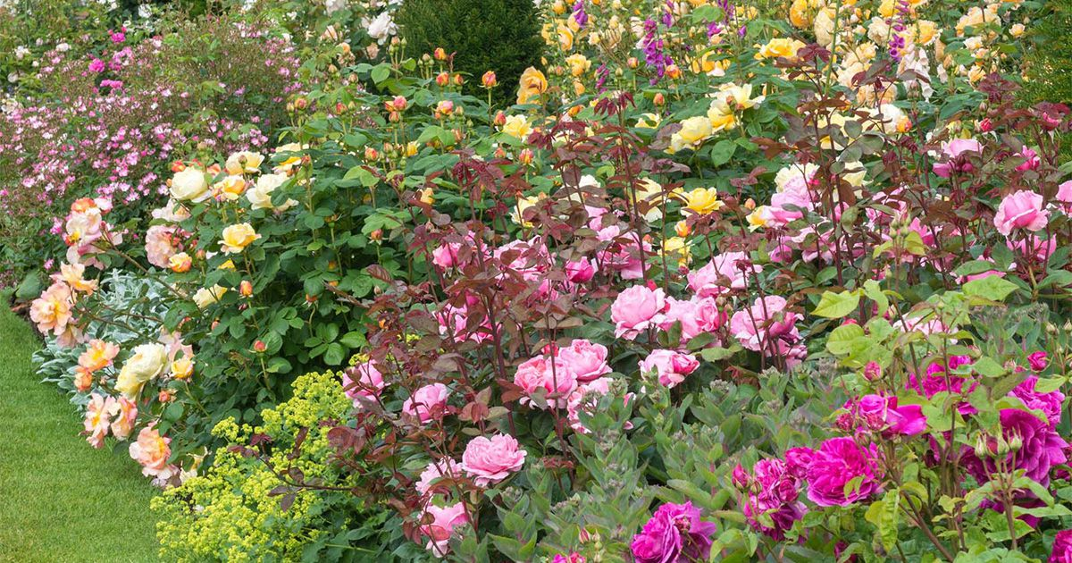 Perennial Plant Companions For Roses Florissa Flowers And More