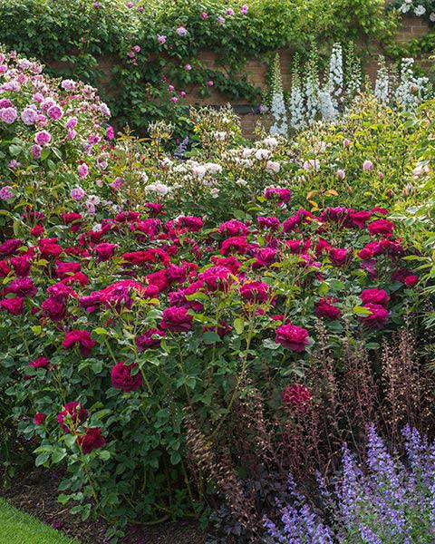 Rose Darcy Bussell with Heuchera, Nepeta, and Digitalis