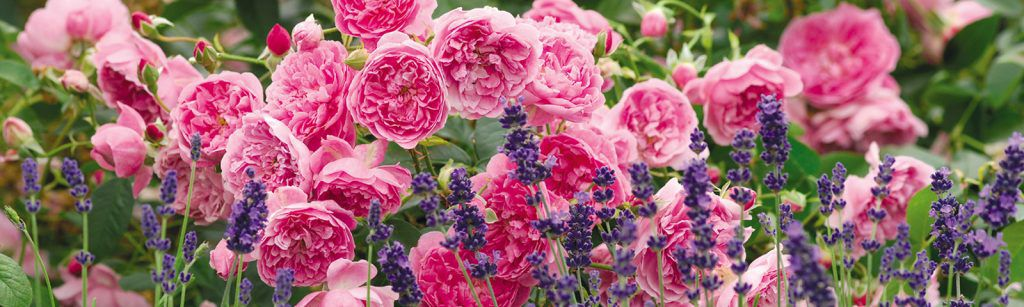 Rose Harlow Carr and Lavendar - Perennial Plant Companions for Roses