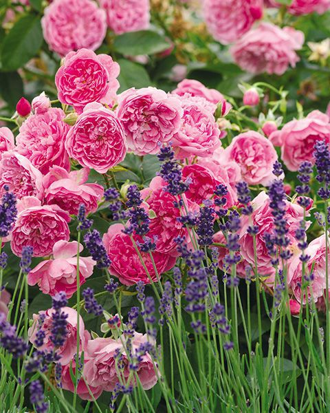 Rose Harlow Carr and Lavender