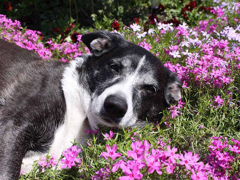 Sleepy Puppy on Purple Flowers