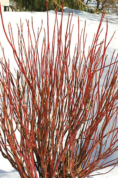 Cornus Arctic Fire by Proven Winners - Hardy Shrubs