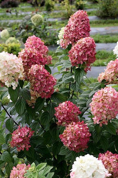 Hydrangea Fire Light by Proven Winners - Hardy Shrubs