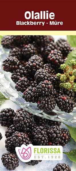 Olallie Blackberry - Berries a la mode