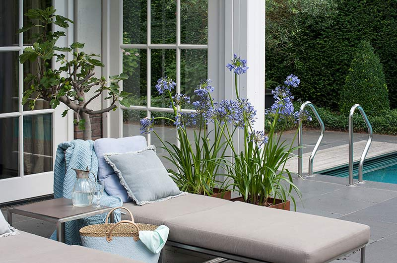Agapanthus Blue - Potted Next to Pool and Lounging Area