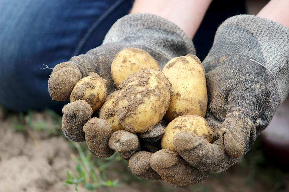Holding Freshly Harvested Potatoes