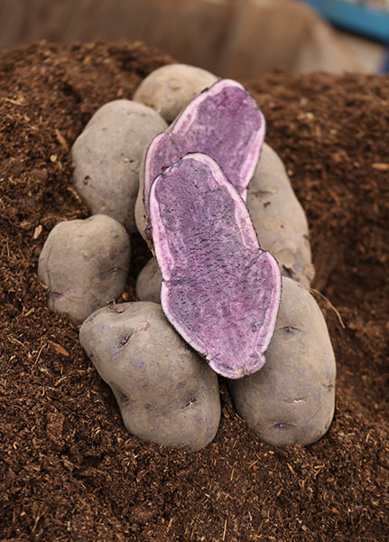 Russian Blue - Gourmet Seed Potatoes - Purple