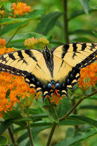Butterfly Love - Asclepias Tuberosa