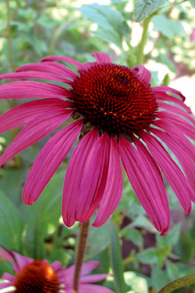 Coneflower - Echinacea Purpurea Ruby Star