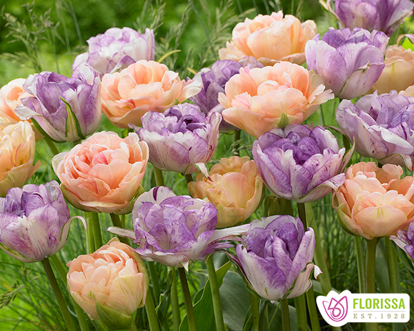 Florissa Bulb of the Month - August 2018